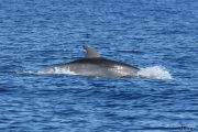 Tursiops truncatus 6617 (***)
