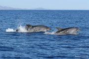 Tursiops truncatus 6667 (***)