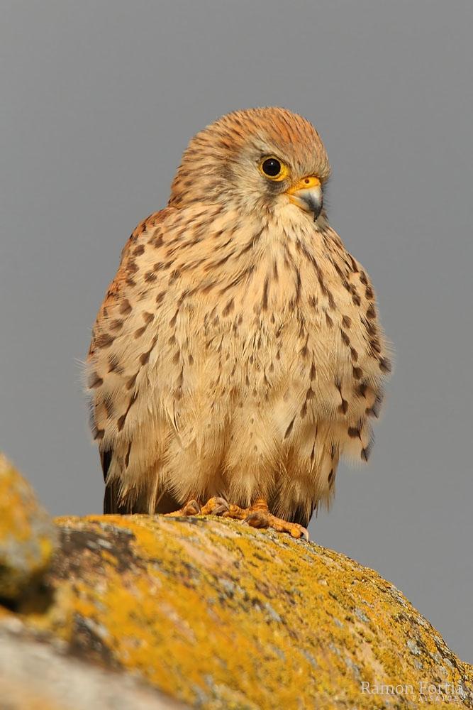 Falco naumanni 3105