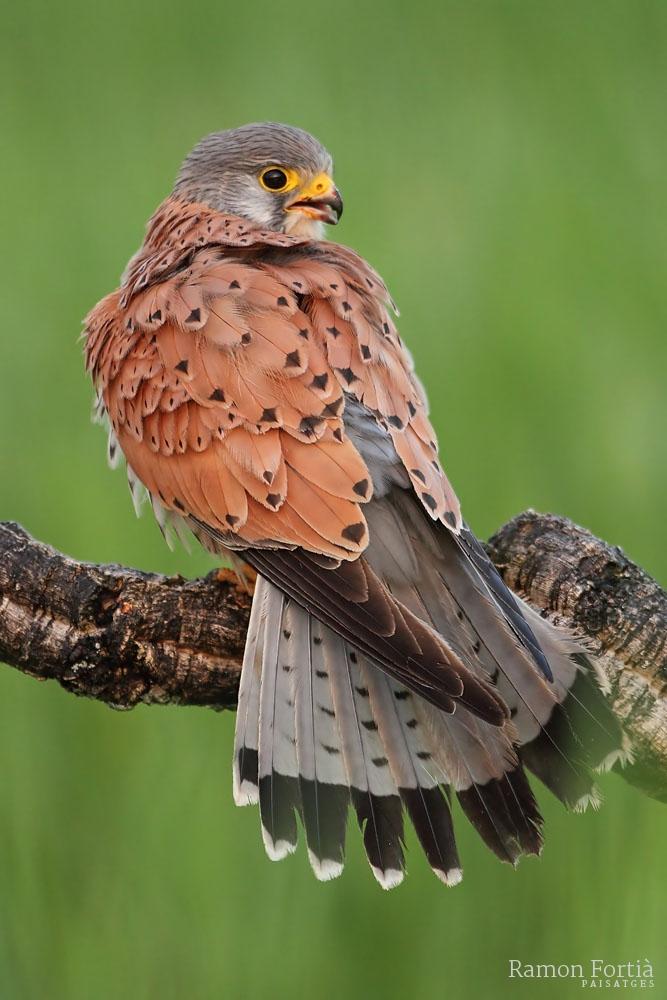 Falco tinnunculus 4617