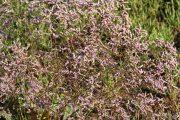 Limonium vulgare 0859 (*)