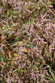Limonium vulgare 0862 (*)