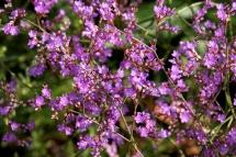 Ensopegall (Limonium vulgare)