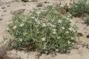 Echinophora spinosa 0225 (*)