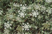 Echinophora spinosa 0247 (*)