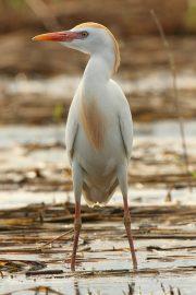 Bubulcus ibis 1305 (**)