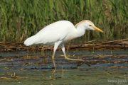 Bubulcus ibis 1325 (**)