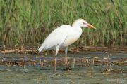 Bubulcus ibis 1350 (**)