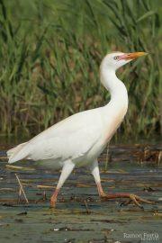 Bubulcus ibis 1358 (**)