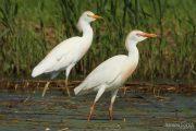 Bubulcus ibis 1360 (**)