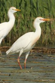 Bubulcus ibis 1361 (**)