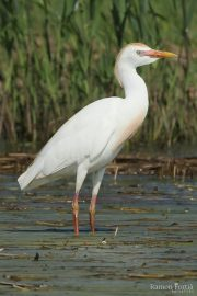 Bubulcus ibis 1365 (**)