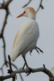 Bubulcus ibis 1566 (***)