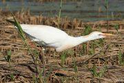 Bubulcus ibis 1612 (**)