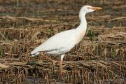 Bubulcus ibis 1623 (**)