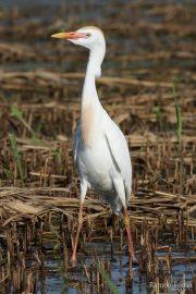 Bubulcus ibis 1625 (**)