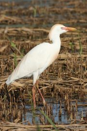 Bubulcus ibis 1629 (**)