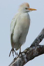Bubulcus ibis 1640 (***)