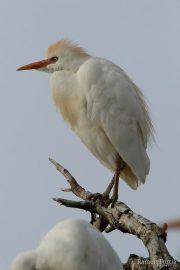 Bubulcus ibis 1660 (***)