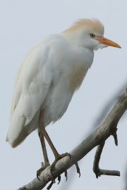 Bubulcus ibis 1694 (***)