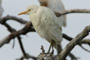 Bubulcus ibis 1725 (***)