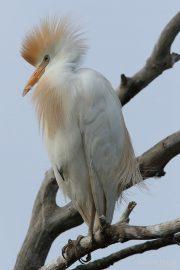 Bubulcus ibis 1729 (***)