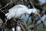 Bubulcus ibis 2282 (***)