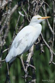 Bubulcus ibis 2507 (***)