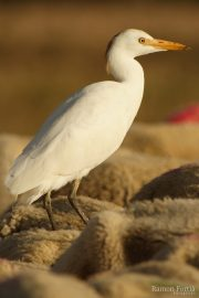 Bubulcus ibis 7159 (**)