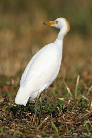 Bubulcus ibis 7164 (**)