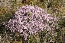 Thymus vulgaris 1813 (*)