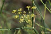 Foeniculum vulgare 0394 (*)