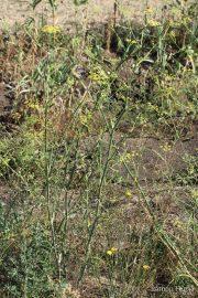 Foeniculum vulgare 0396 (*)