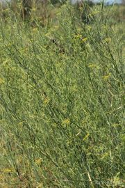 Foeniculum vulgare 0398 (*)
