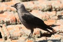 Gralla (Corvus monedula)