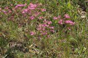 Centaurium erythraea 0169 (*)