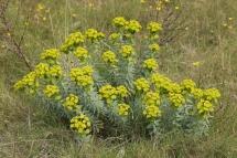 Lleteresa nicenca (Euphorbia nicaeensis)