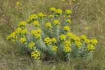Euphorbia nicaeensis 1825 (*)