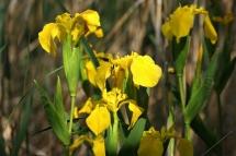 Iris pseudacorus 2694 (*)
