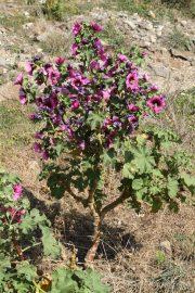 Lavatera arborea 0511 (*)