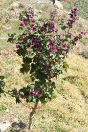 Lavatera arborea 0520 (*)