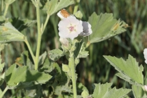 Althaea officinalis 0878 (*)