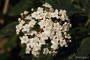 Viburnum tinus 0321 (*)