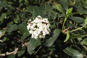 Viburnum tinus 0339 (*)