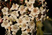 Viburnum tinus 0344 (*)