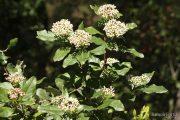 Viburnum tinus 1647 (*)