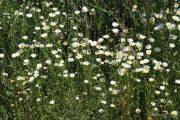 Leucanthemum vulgare  0101 (*)