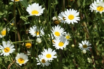 Margarida de camp (Leucanthemum vulgare)