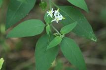 Solanum chenopodioides 0873 (*)
