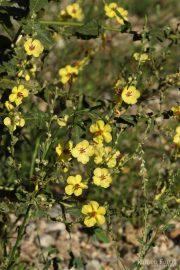 Verbascum sinuatum 0543 (*)